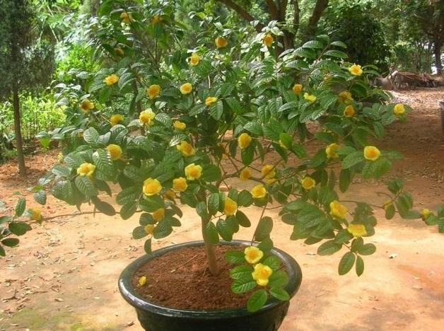 kích thích trà hoa vàng ra hoa